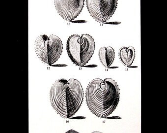 Shells Print - Cockle Clams and Mussels - Vintage 1979  Book Page - Black and White