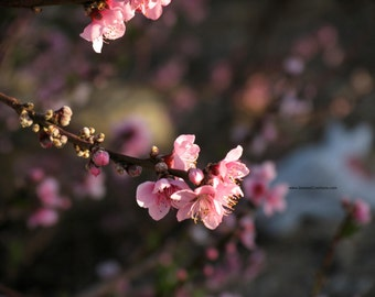 Spring Blossoms 3, FIne Art Photograph by DENISE SLOAN