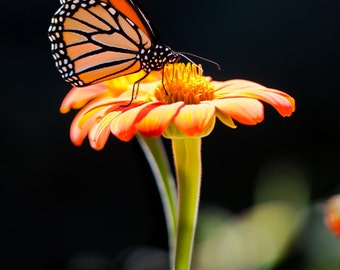 Monarch Butterfly Photo.