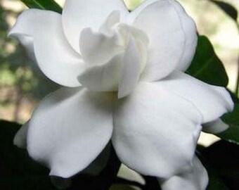 6 Pack Exotic Gardenia Soy Votives