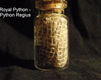 Royal Python Specimen Vial