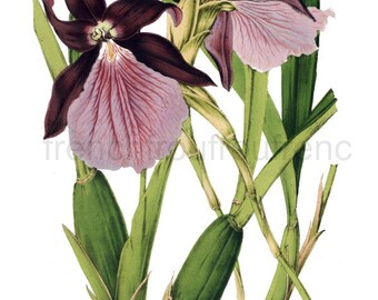 antique french botanical print miltonia purple orchid DIGITAL DOWNLOAD