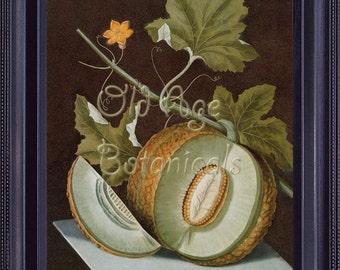 BOTANICAL Print 8x10 Large Vintage Antique Kitchen Art Print Fruits Green Fresh Melon BROOKSHAW Plate 1812 Light Green FV0006