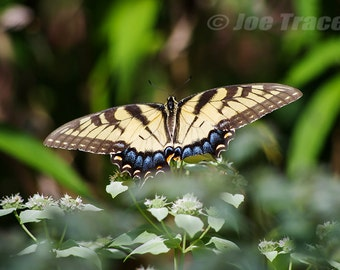 Eastern Tiger Swallowtail Butterfly, Butterflies, Nature Photography, Butterfly Picture, Wall Art, Fine Art Photography, Butterfly Photo