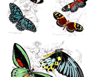Butterflies - Jardine's Naturalist Illustrations - 2 Sided 1990's Book Page