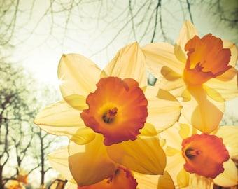 Yellow daffodil, flower photography, peaches and cream, citrus, lemon yellow, orange, narcissus, London England, spring, avocado green