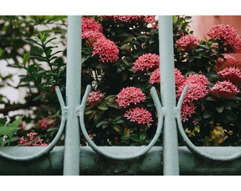 Flower Photography Old San Juan Puerto Rico Travel Photography Pink Flowers Pastel Pink Mint Home Decor Fine Art Architecture Photography