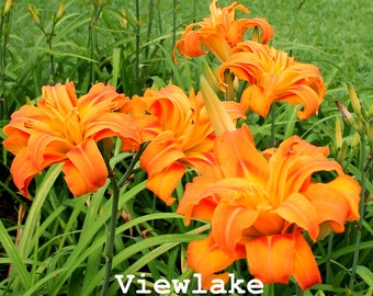 Orange Daylily 'Kwanso' Live Plants- Magnificent Color - Rare Semi-Double Flower