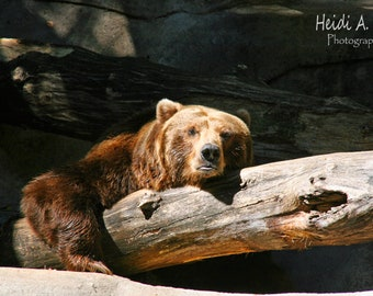 photo card, photo note card, blank card, bear photo card, Brown bear, photo, greeting card, zoo note card, brown bear card, bear photography