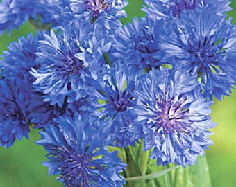 Cornflower Mix Heirloom Medicinal Herb Seeds Non-GMO Naturally Grown Open Pollinated Gardening