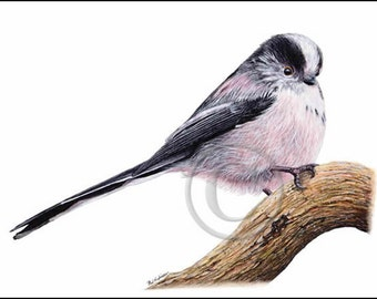 Bird Art, LONG TAILED TIT painting, Tit Bird, Cyanistes caeruleus, Blue Tit Watercolor Print