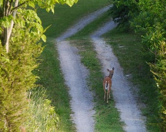 Deer on Dirt Road