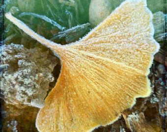 Yellow Green Frost Gingko Leaf Photograph--Gingko with Frost--Fine Art