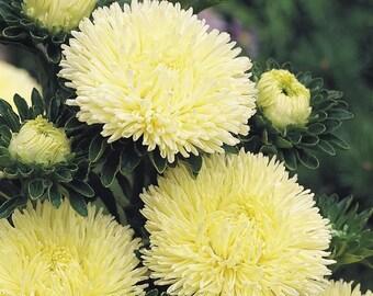Aster Flower Seeds Constellation  Chinesis Paeonien Gold Queen from Ukraine #749