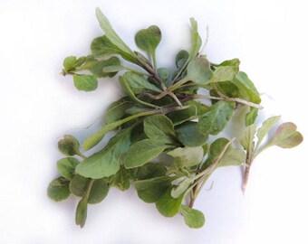 Arugula - 40,000+ Seeds - (Non-GMO) - MicroGreens Canada - 125 Grams