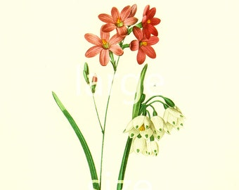 Ixia Corn lily large Size illustration Redoute French Vintage Botanical Print