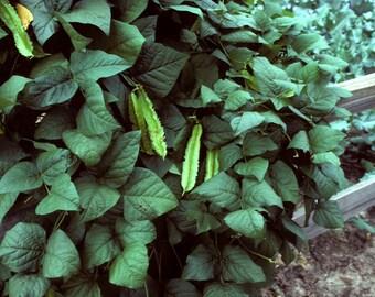 100  Psophocarpus tetragonolobus Seeds, winged bean, Dragon bean Seeds