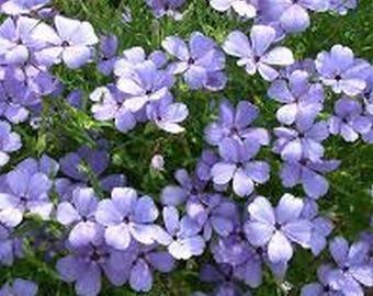 Viscaria- Blue Angel- 100 Seeds