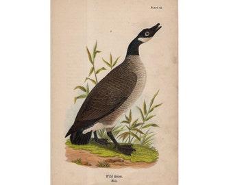 1888 GOOSE - ANTIQUE BIRD lithograph - original antique print - ornithology avian birds - antique bird print - giant goose