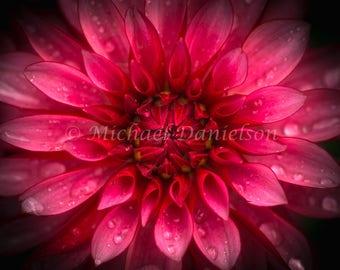 Dahlia Flower Photograph Print