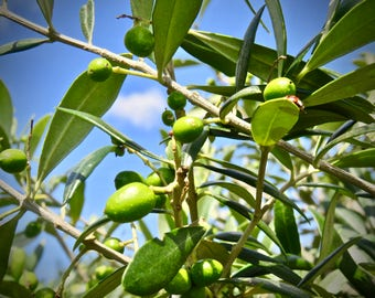 Olives on Tree Greeting Card Left Blank for Personal Message