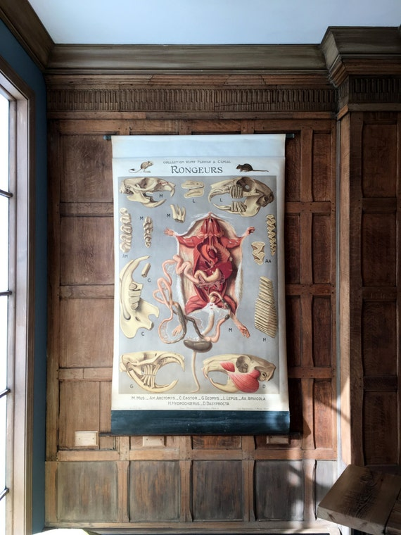 Antique Pull Down Chart, Rodents Anatomy Chart, Remy Perrier & Cepede, Scientific Illustration, Biology School Chart