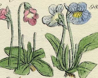 Antique Botanical Print of Wild Flowers, 1914 John Sowerby Water Violet, Primrose, Cowslip, Hand-Coloured Flower Plate (981 to 1000)