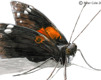 Red Admiral - Insect Print