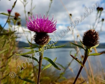 Digital photo download, flower photography, thistle photo, photography, flower photo
