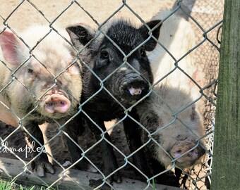 Sweet Piglets Photo, Farm Photo, Barnyard Pigs Photo, Farm Photography, Three Little Pigs Print