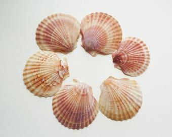 Set of 6 pink Lot 2 scallop shells
