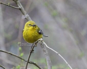 Warbler Photograph - Yellow Bird Picture - Bird in Early Spring Print - Modern Woodland Bird Decor - Pine Warbler Photo - Songbird Wall Art