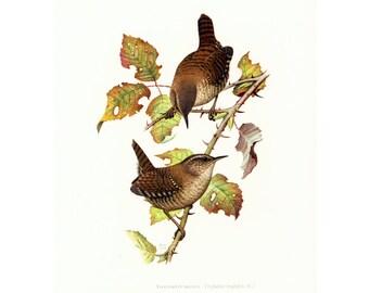 1969 Eurasian Wren, Troglodyte, vintage Bird Print, Ornithology, Natural history, nature wall art