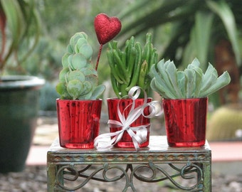 Three Red Potted Succulent Plants Gift
