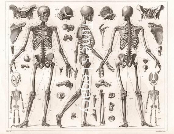 Vintage Anatomical Illustration Human Skeleton Bones 1850s