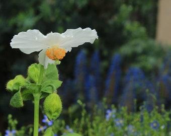 Rare White Poppy Photo