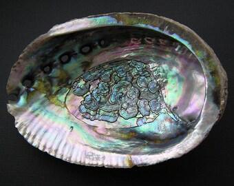 """Abalone Shell - 5-5.5"""" - Polished Inside"""