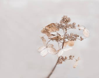 Faded beauty hydrangea-flower photography - flower photo- cottage garden photo -  Original fine art photography prints - FREE Shipping