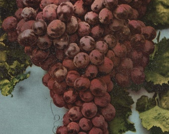 Fruit Chromo Lithograph of Grapes (Art Prints available in multiple sizes)