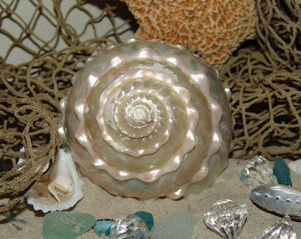 Astraea Undosa MOP Mother of Pearl Large Spiral Wavy Top Shell Seashell Coastal Home Office Decor Collections Art Crafts Beach Weddings Gift