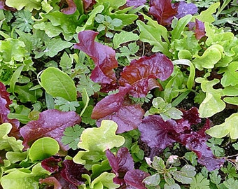 Gourmet Mixed Greens Mesclun Mix Heirloom Seeds Non-GMO Naturally Grown Open Pollinated Gardening