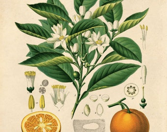 Vintage Botanical Orange Citrus Vulgaris Risso Print. Educational Chart Diagram Poster Pull Down Chart from Kohler's - CP238