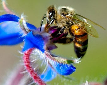 Honey Bee Happy Mix Heirloom Seeds - Non-GMO, Open Pollinated, Untreated, Flower Seeds, Wildflower