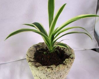 Spider Plant / Papercrete Pot