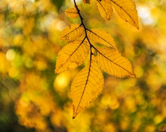 """Fall Leaves Photography, 8x12 (and larger), """"Warm Fall Day"""" Nature Fine Art Photo Print, Yellow Photograph"""