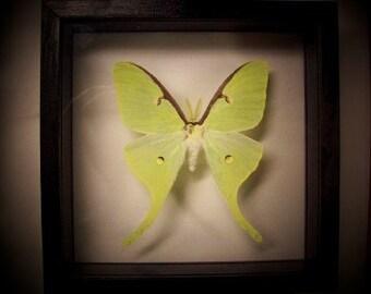 Luna Moth ( American Moon Moth )