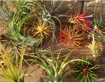 Air plant mix of 5