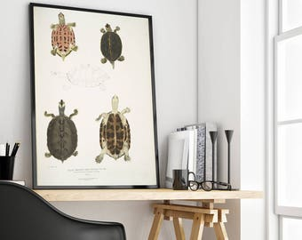 Turtles, Illustrations of Indian zoology, Vintage  Art Print, Giclee