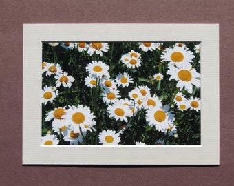 Matted 4x6 Kelleys Island Daisies Nature Print Photography, Signed Artwork, Daisy Flower Wall Art Home Decor