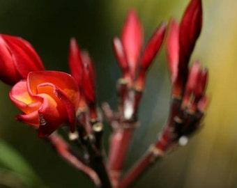 BF/ exotic Bali flower closeup macro photography print red claw weird unusual shape Asian Indonesia Bali travel nature photography nature
